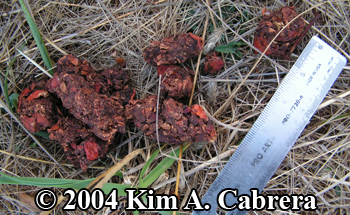 more firm Black bear scat composed of apples. Photo copyright 2004 by Kim A. Cabrera.