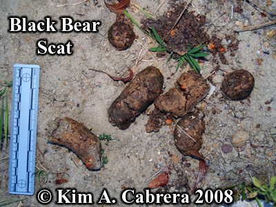 Black bear scat. Photo copyright by Kim A. Cabrera 2008.