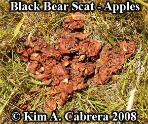 Black bear scat - apple peels. Photo copyright by Kim A. Cabrera 2008.
