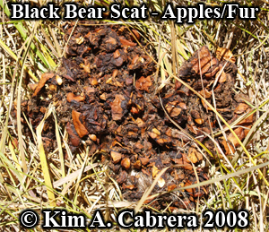 Black bear scat with fur. Photo copyright by Kim A. Cabrera 2008.