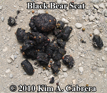Black bear scat at Ma-Le'l Dunes. Photo by Kim A. Cabrera.