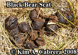 Black bear scat. Varied diet. Photo copyright by Kim A. Cabrera 2008.