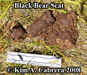 Black bear scat of vegetation. Photo copyright by Kim A. Cabrera 2008.