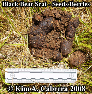 Black bear scat. Seeds and berries. Photo copyright by Kim A. Cabrera 2008.
