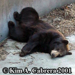 black bear in zoo. Photo copyright Kim A. Cabrera