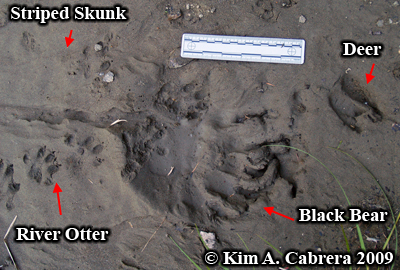 black bear track in mud. Photo copyright Kim A. Cabrera