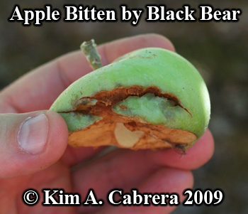 Apple bitten by a black bear. Photo copyright 2009 by Kim A. Cabrera.