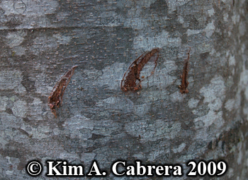 black bear claw marks close up. Photo copyright Kim A. Cabrera