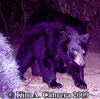 Black bear and cubs. Photo copyright 2009 by Kim A. Cabrera.