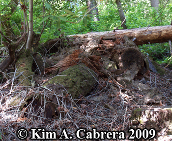 Stumps opened by a black bear. Photo copyright 2009 by Kim A. Cabrera.