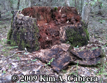 Stump opened by a black bear. Photo copyright 2009 by Kim A. Cabrera.