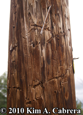 bear tooth marks on power pole. Photo                       copyright Kim A. Cabrera