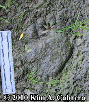 black bear track in mud along the eel river. Photo by Kim A. Cabrera.
