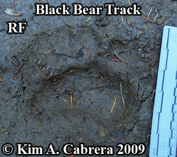 black bear track. Photo copyright Kim A. Cabrera