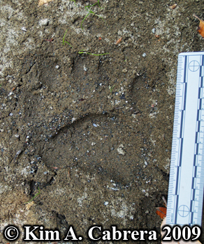black bear footprint. Photo copyright Kim A. Cabrera