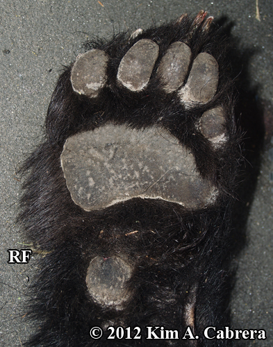 right front foot of roadkilled black bear