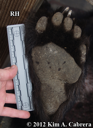 right hind foot or roadkilled black bear