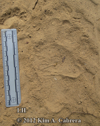 left hind pawprint of yearling bear