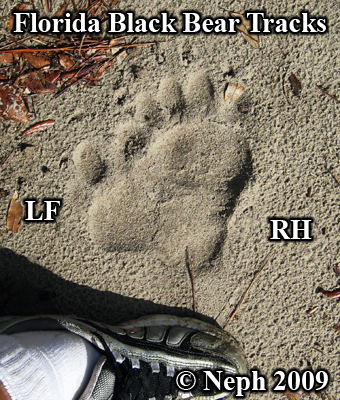 Florida black bear tracks