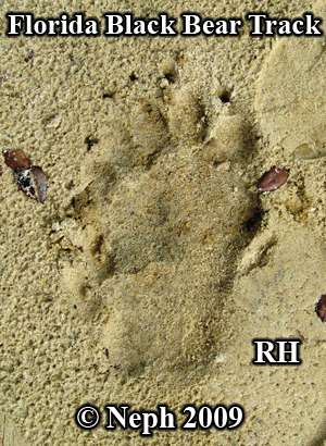 Florida black bear hind footprint