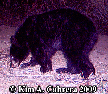 bear cub. Photo copyright Kim A. Cabrera
