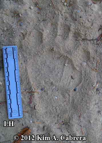 male black bear track left hind foot