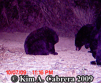 black bear cubs. Photo copyright Kim A. Cabrera
