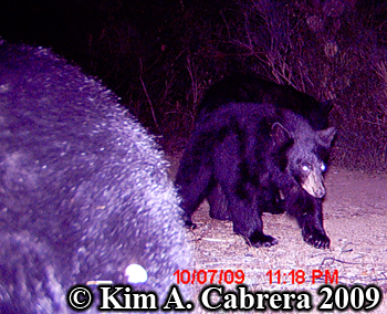 mama and cubs. Photo copyright Kim A. Cabrera