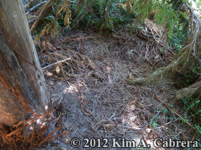 black bear bed at the base of small redwood tree which the bear girdled to gather bark