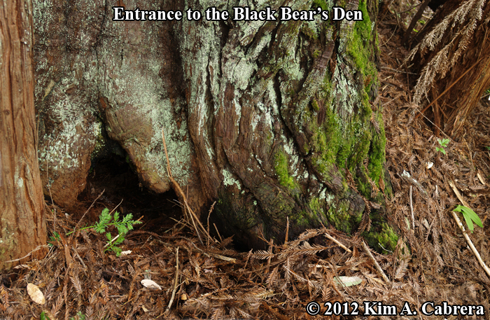 Black Bear Dens and Beds - How to Identify Them