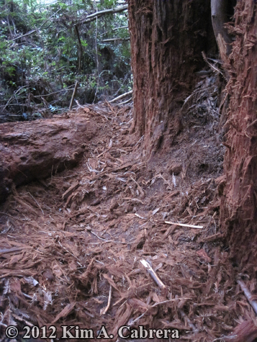 bear den above ground at base of redwood trees