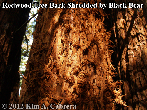 redwood tree bark used by a black bear for nest material