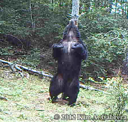 bear scratching his back on a tree