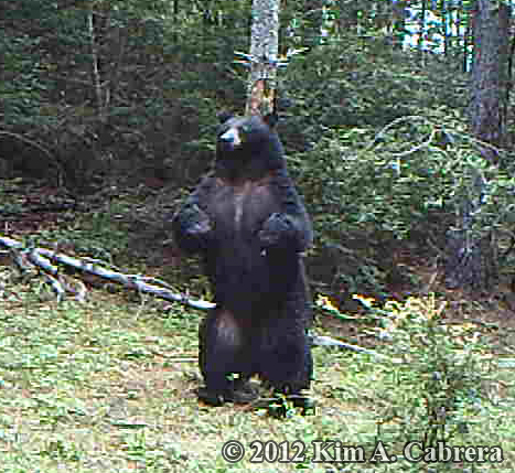 Black Bear Marking Trees - How to Identify Them in the Field