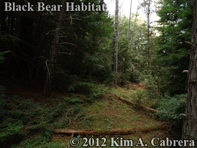 black bear habitat with marking tree in center                     of photo