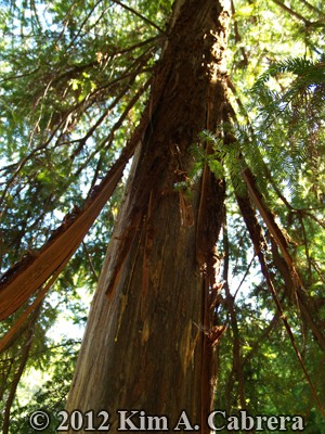 redwood tree with bark removed by black bear
