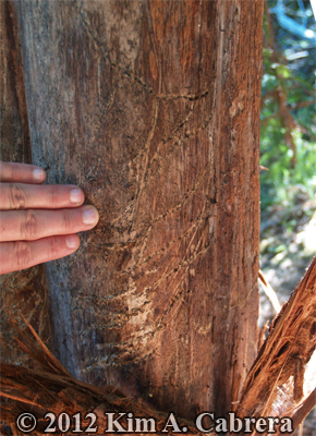 black bear claw marks at base of redwood                       tree
