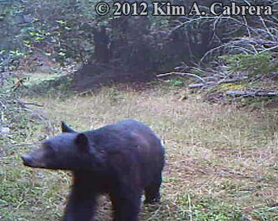 bear                       that was curious about my trail camera
