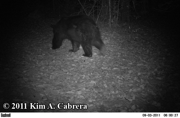 bear walking away from camera
