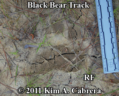 right front track of black bear