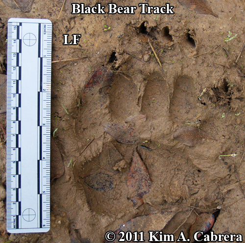 beautiful perfect left front black bear track in mud