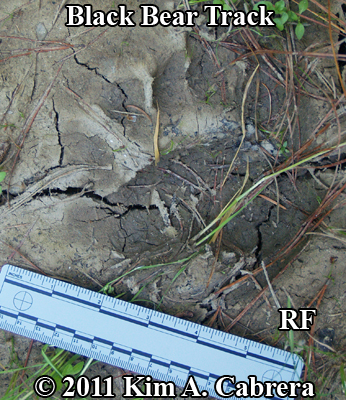 black bear track from right front foot