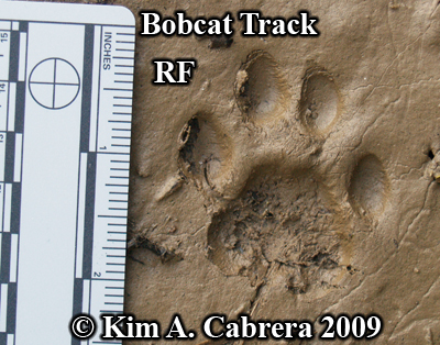 Perfect track left by the bobcat I saw. Photo                       copyright by Kim A. Cabrera 2009.