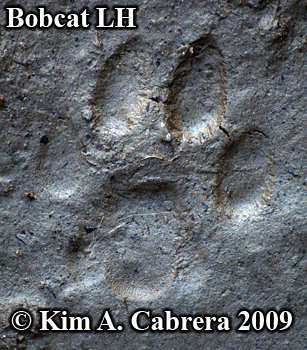 Left hind bobcat pawprint. Photo copyright                       2009 Kim A. Cabrera.