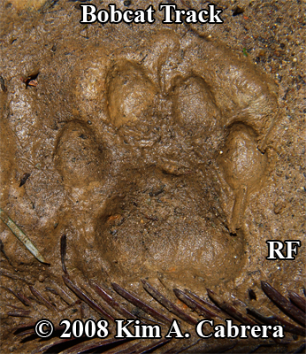 beautiful bobcat track in mud