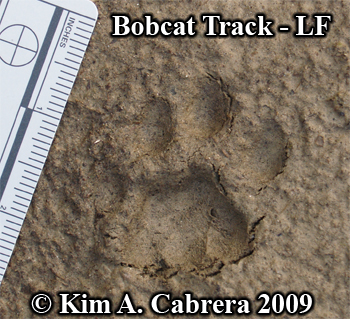 Bobcat left front footprint.  Photo copyright Kim A. Cabrera 2009.