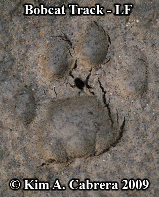 DEtail left front track of a bobcat.  Photo copyright Kim A. Cabrera 2009.