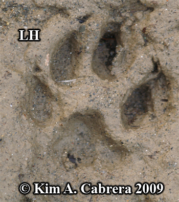 Bobcat left hind track showing rare claw marks.  Photo copyright Kim A. Cabrera 2009.