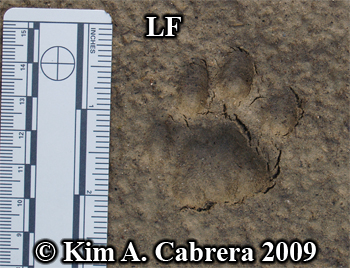 Left front paw print of a bobcat.  Photo copyright Kim A. Cabrera 2009.