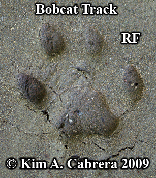 Bobcat track in sand. Photo copyright 2009 Kim A. Cabrera.